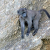 Chacma Baboon - Cape of Good hope Nature Reserve