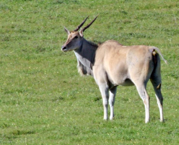 Common Eland antelope - Western Coast National Park