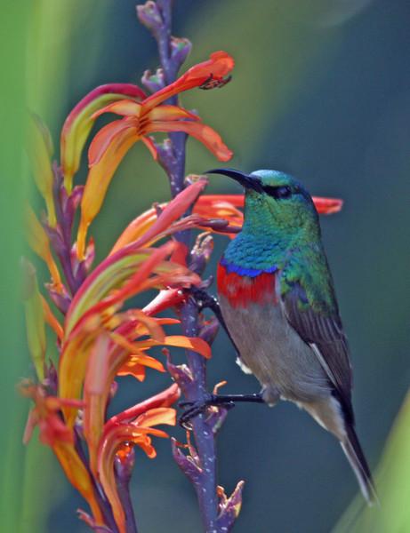Southern Double-collard Sunbird photographed at Kirstenbosch National Botanical Garden.