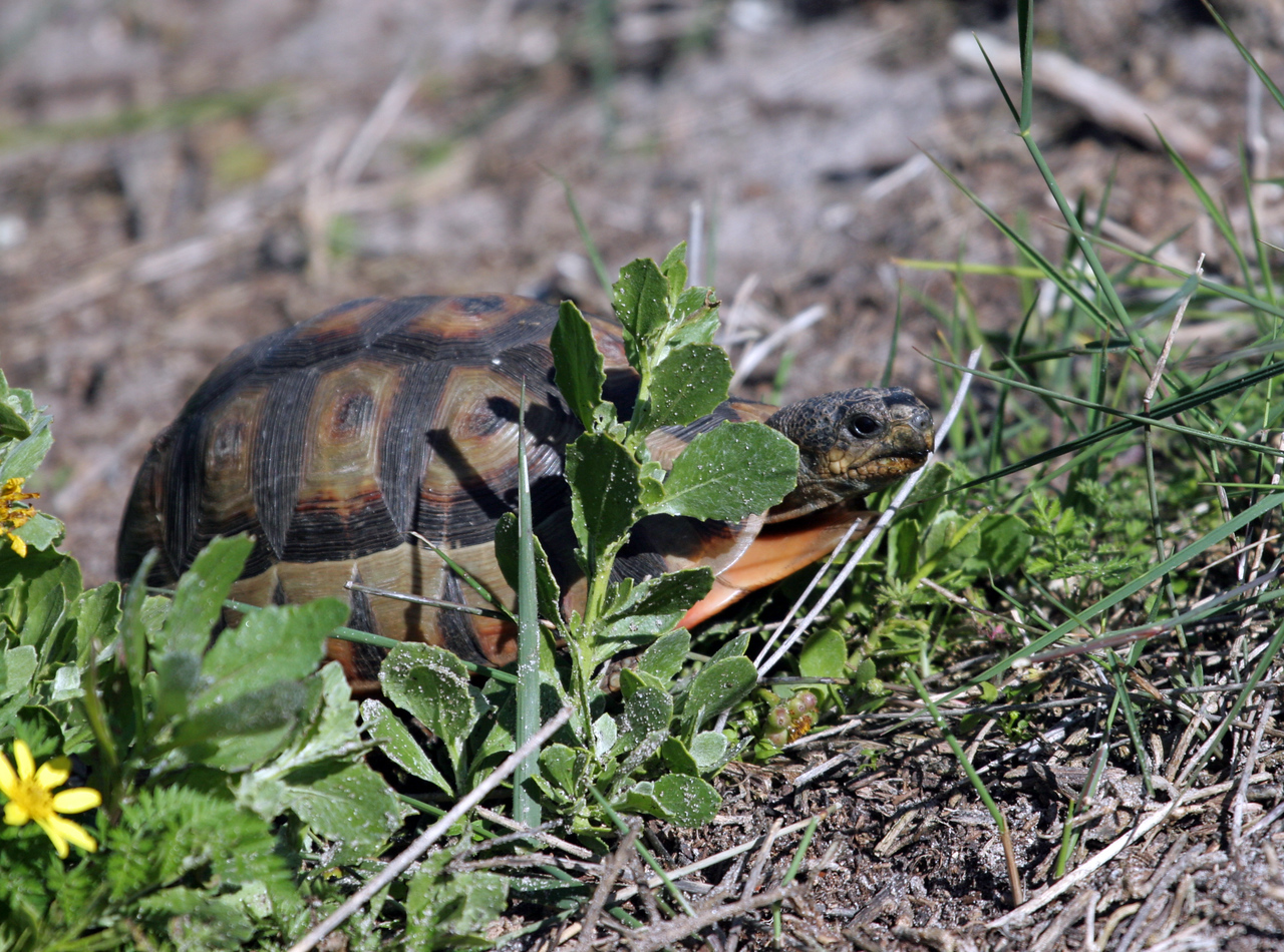 Angulate Tortoise - West Coast National Park