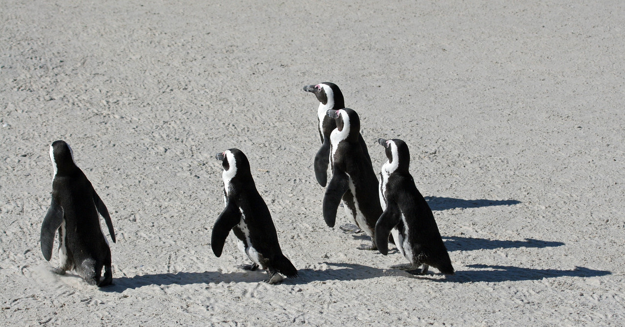Jackass Penquin (endemic) on the march, They were easily photographable and didn't seem to fear people. These penguins were photographed at Boulders, which is one of the three breeding colonies.