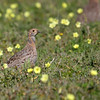 Grey-winged Francolin - West Coast National Park