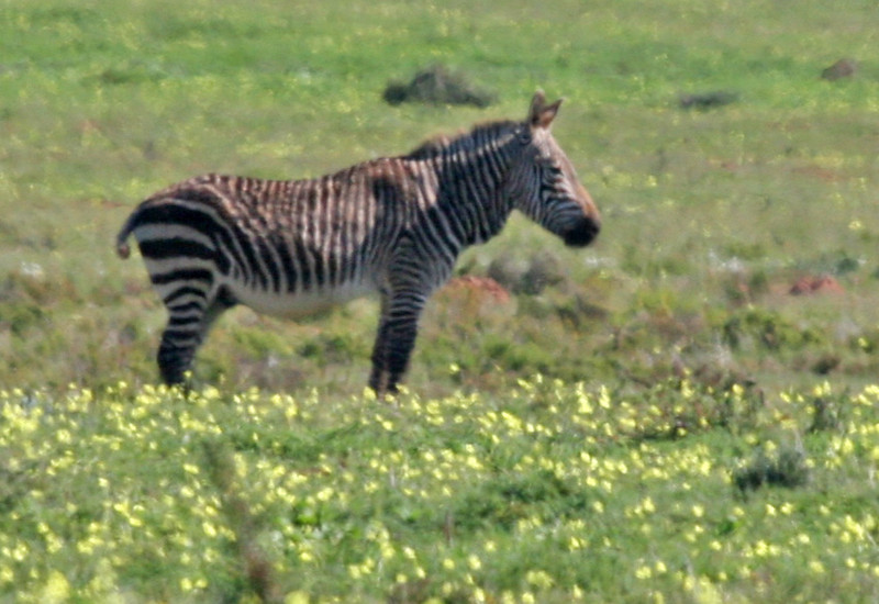 Cape Mountain Zebra - Western Coast National Park