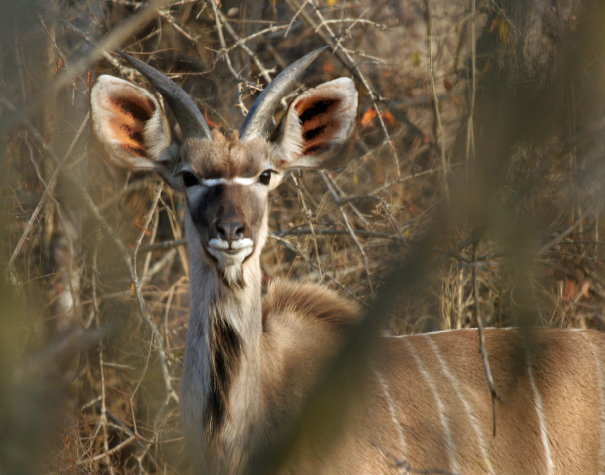 Greater Kudu - Kwa Madwala Game Reserve