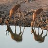 Impala at Kwa Madwala Game Reserve watering hole.