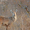 Waterbuck - Kwa Madwala Game Reserve