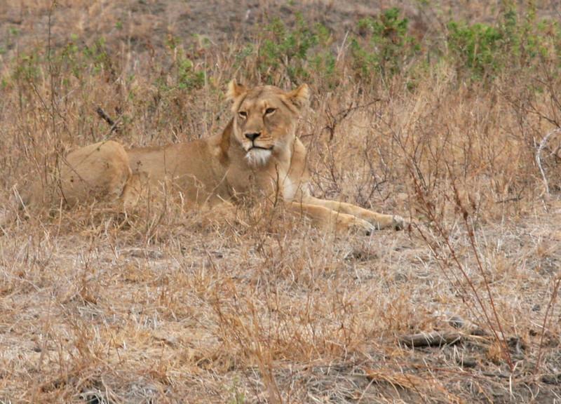 Lion - Member of the Big 5 at Kruger National Park
