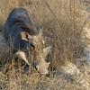 "Warthog - Member ofthe ""Ugly"" 5 at Kwa Madwala Game Reserve"