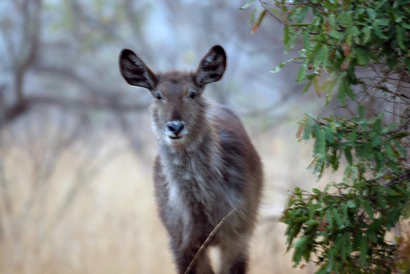 Kudu - Kruger National Park