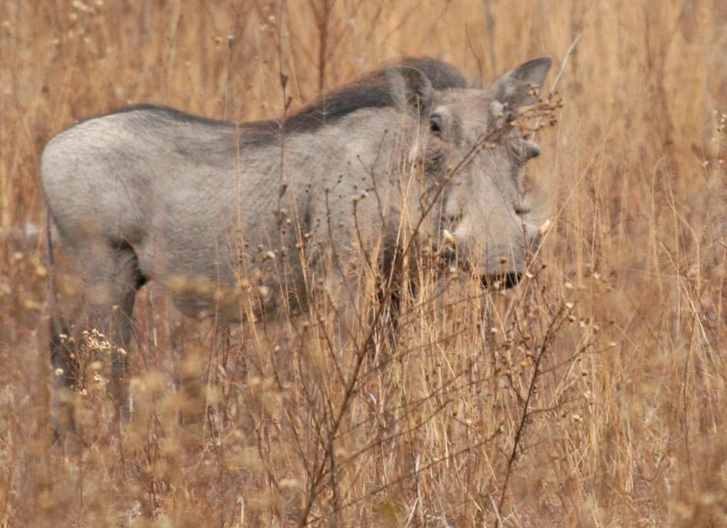 Warthog - Kwa Madwala Game Reserve