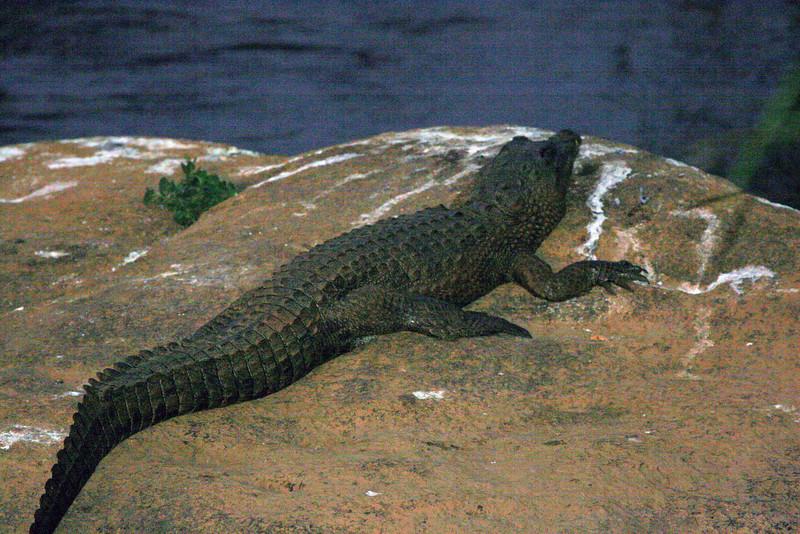 Crocodile sun bathing at Hippo Hollow Inn.