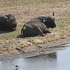 Cape Buffalo and Black-winged Stilt - Kruger Crocodile Gate Bridge