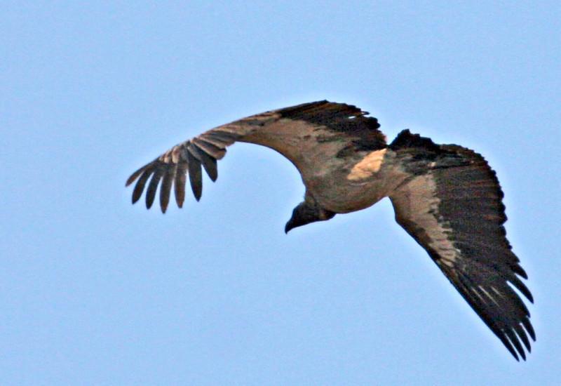 White-backed Vulture at Kwa Madawala Game Reserve
