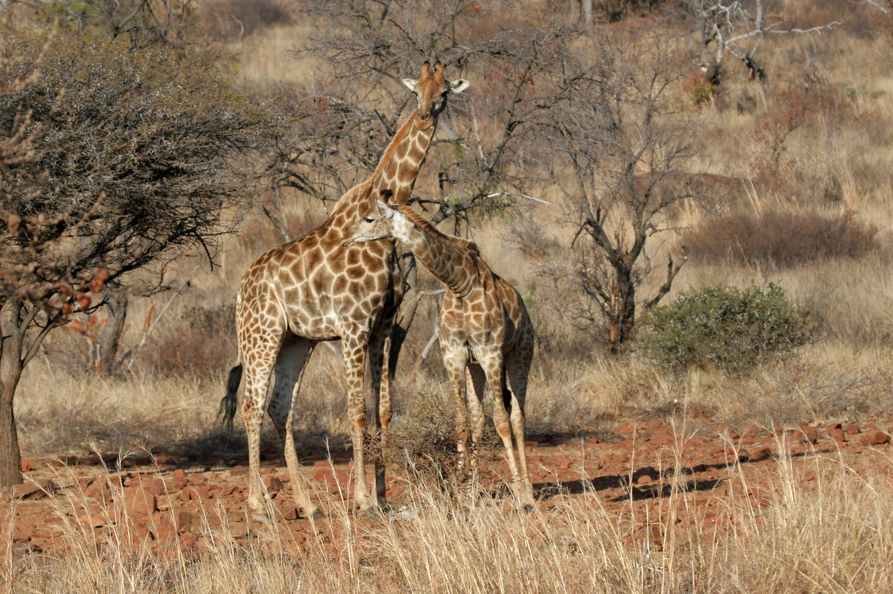 Giraffe - Hannah Lodge Game Reserve
