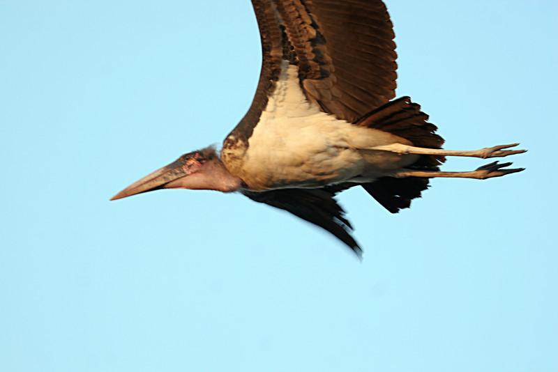 "Marabou Stork - A member of the ""Ugly"" 5"