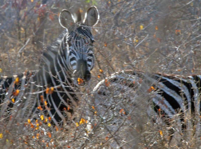 Bruchell's Zebra - Kwa Madwala Game Reserve