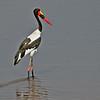 Saddle-billed Stork - Kruger Crocodile River Gate Bridge