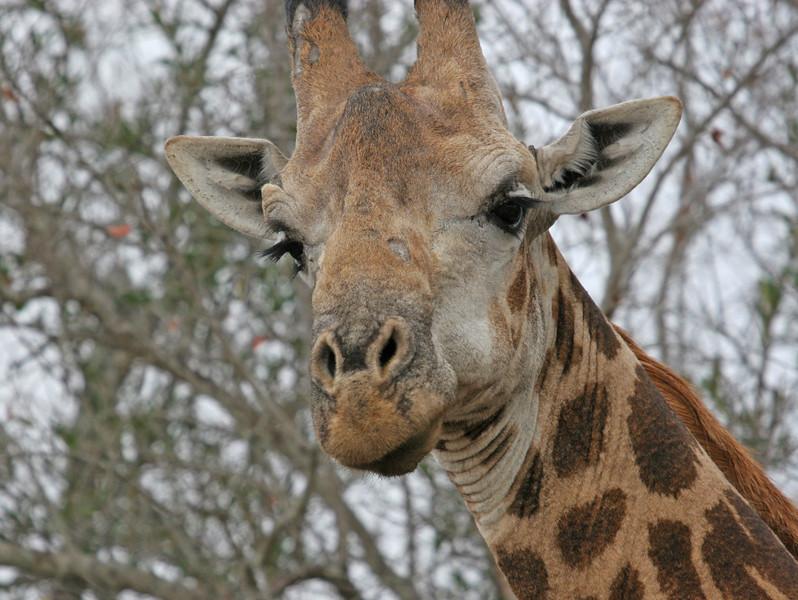 Giraffe - Kwa Madwala Game Reserve
