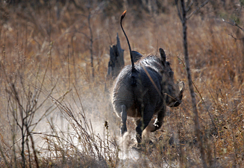 Phacochoerus aethiopicu - Kwa Madwala Game Reserve