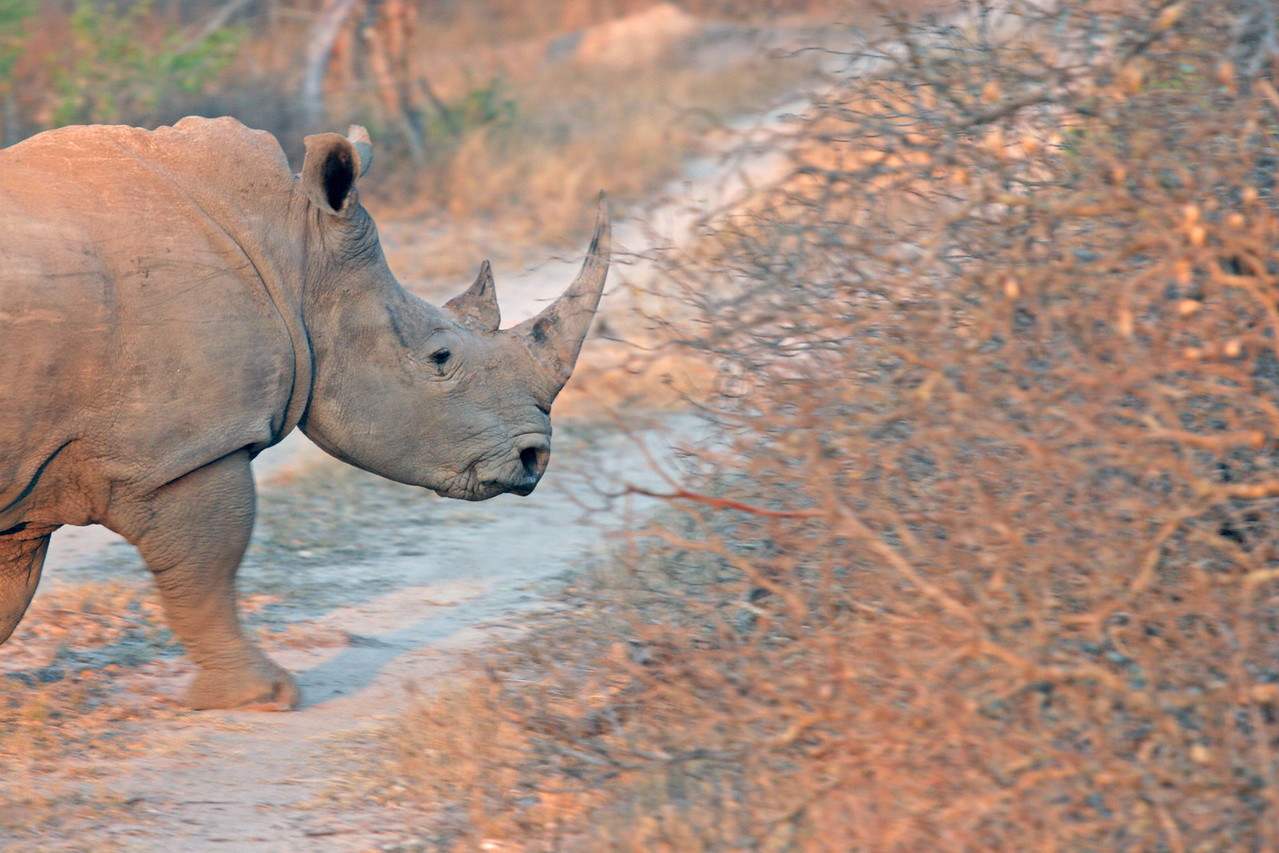 White Rhino at Kwa Madwala Game Reserve