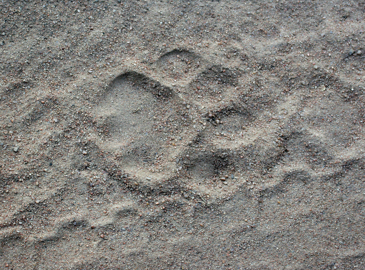 Fresh lion track in Kwa Madwala Game Preserve. We never did locate the lion.