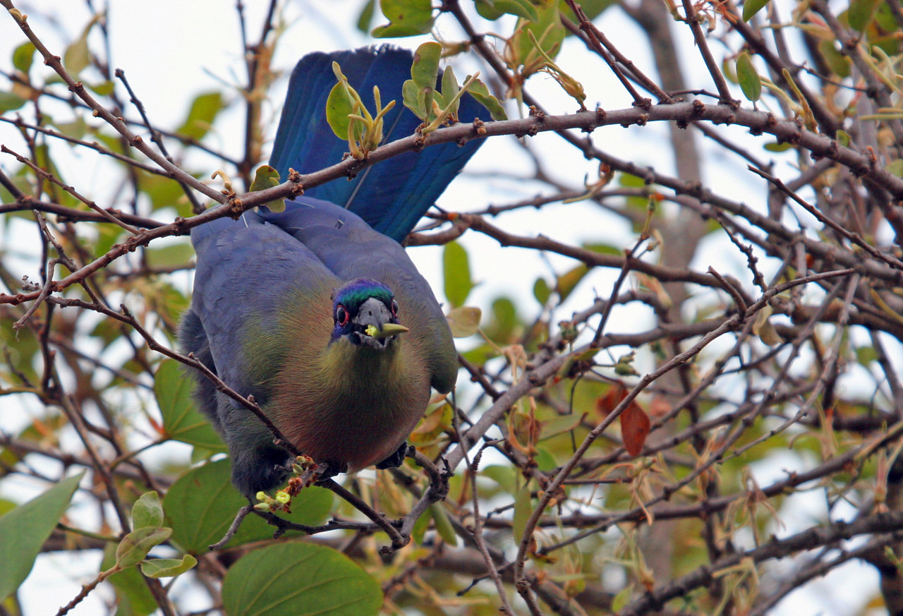 Purple-crested Turaco - Kruger National Park