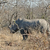 White Rhinoceros - Member of the Big 5 at Kwa Madwala Private Reserve