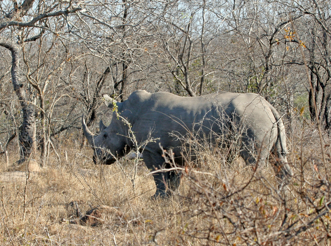 White Rhinoceros - Member of the Big 5 at Kwa Madwala Private Reserve