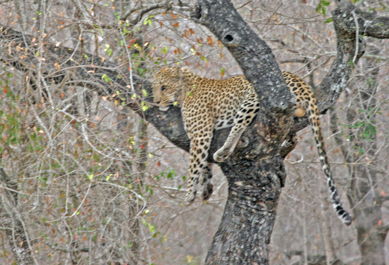Leopard - Member of the Big 5 at Kruger National Park