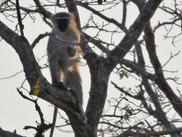 Vervet Monkey - Kwa Madwala Game Reserve.
