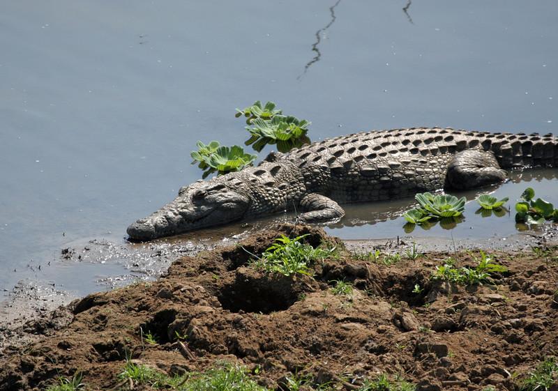 Crocodile - Kruger Crocodile Gate Bridge
