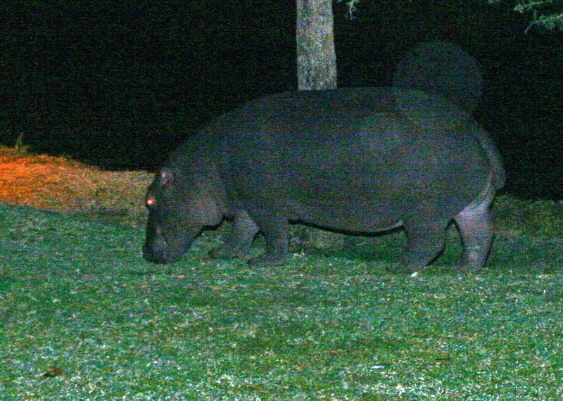 Hippo grazing on lawn at Hippo Hollow Inn near the Sabie River.