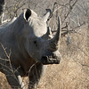 Rhino at Kwa Madwala Game Reserve