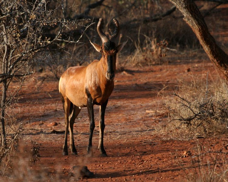 Red Hartebeest - Hannah Lodge Game Reserve