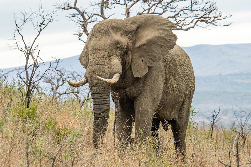 South Africa's giant