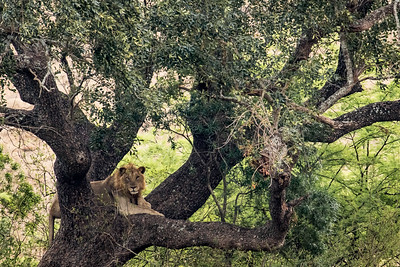 Lion in the tree