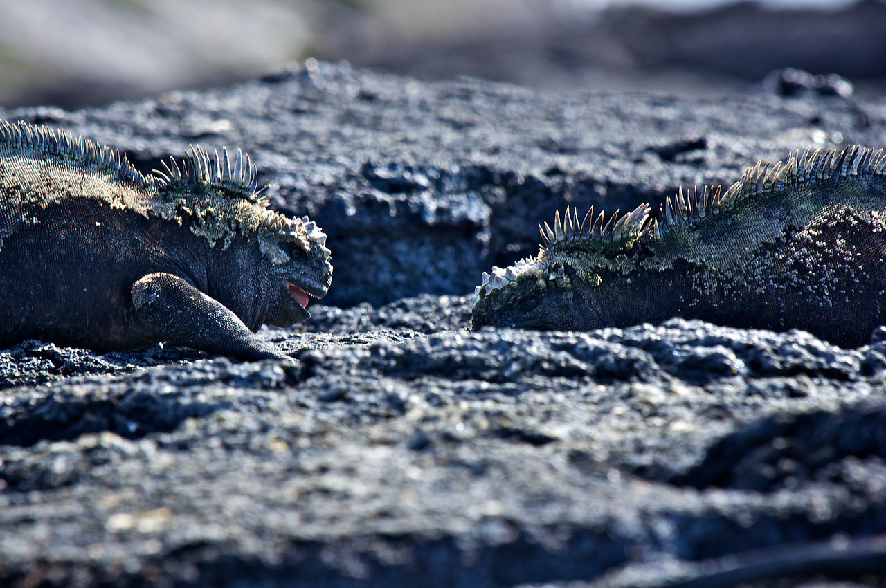 Marine Iguanas dueling Fernandina Island