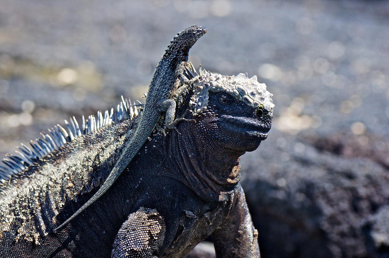 Marine Iguana and Lava Lizard Fernandina