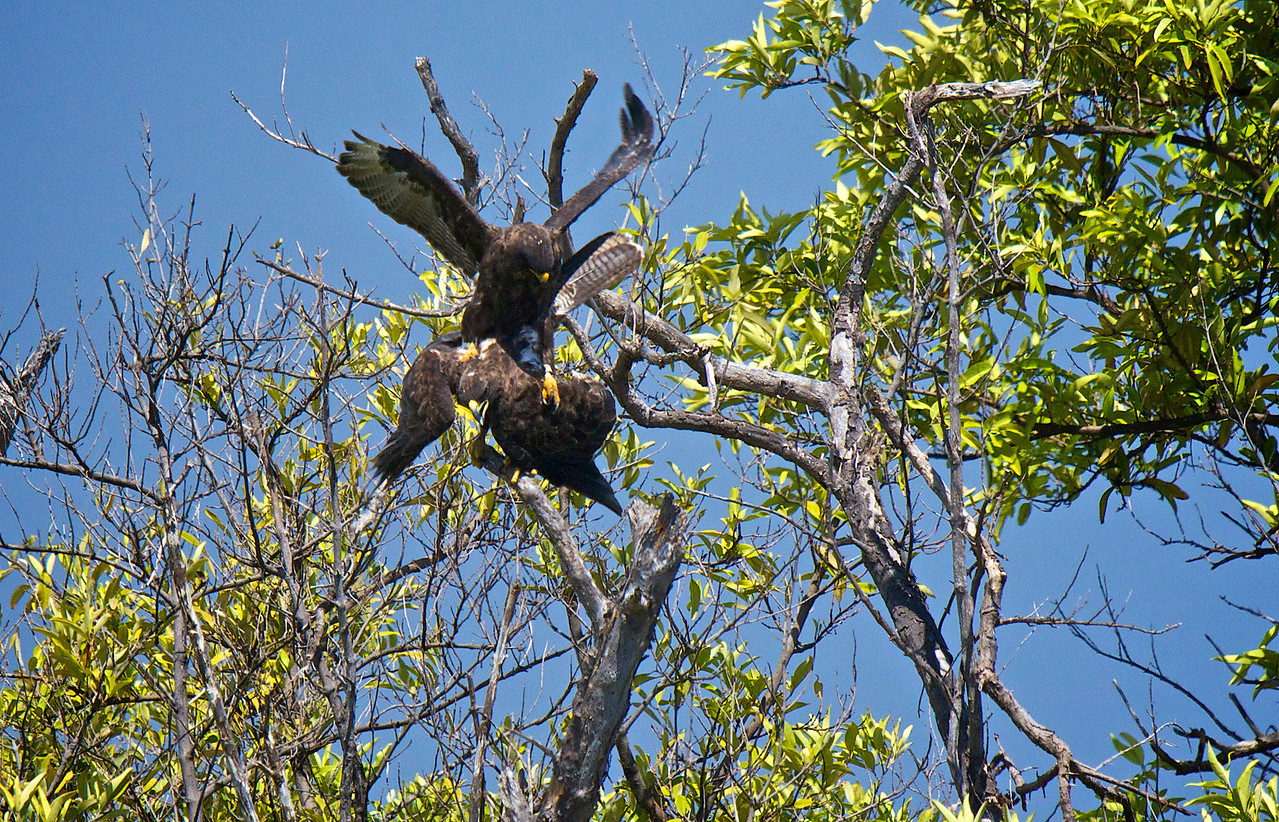 Galapagos hawks mating Fernandina