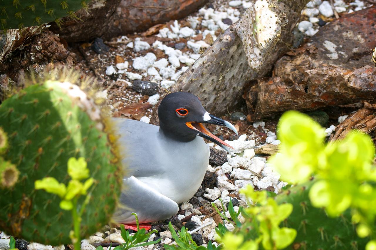 Swallow-tailed Gull, Darwin Bay, Tower Island