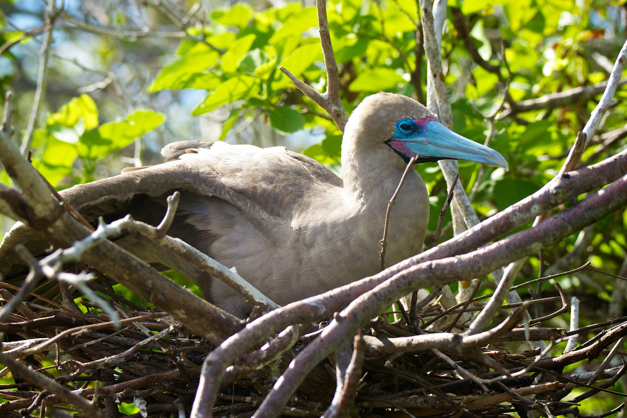 Red-footed Booby, tower island