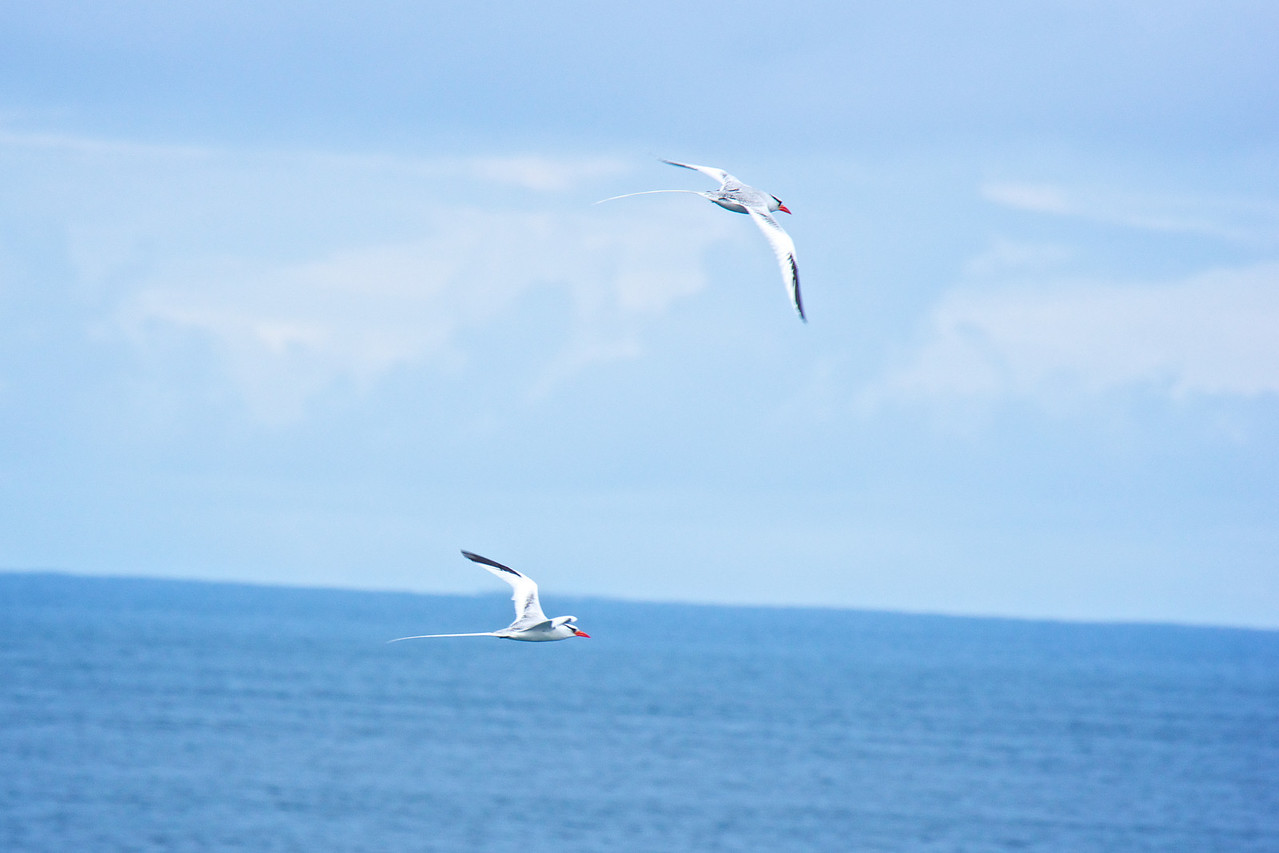 Red-billed Tropicbirds