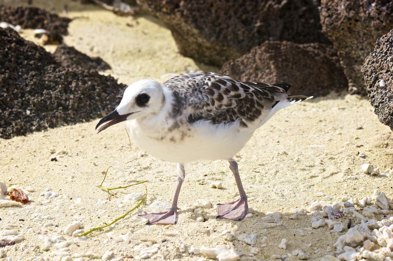 Swallow-tailed Gull juvenile, Darwin Bay, Tower Island