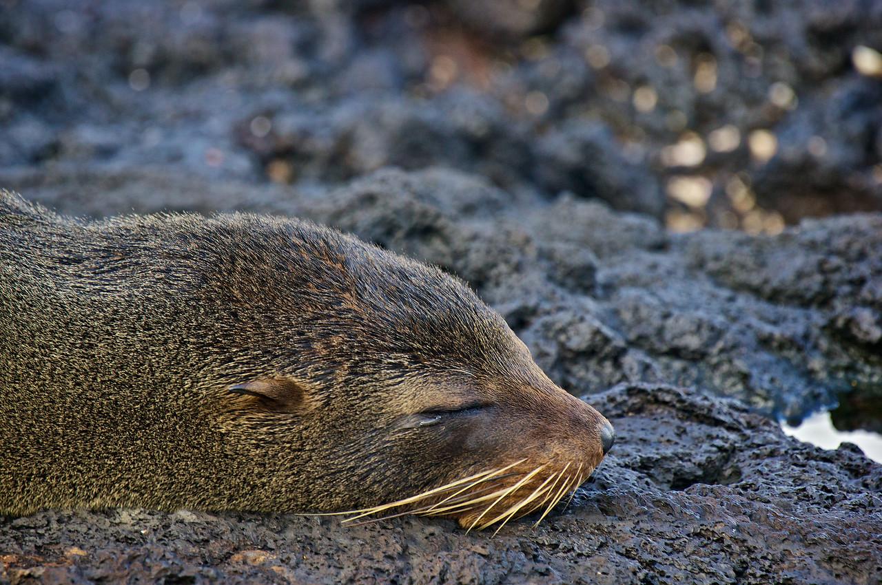Fur seal, James island
