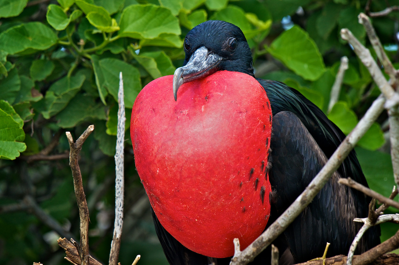 Great Frigatebird male displaying, Tower Island
