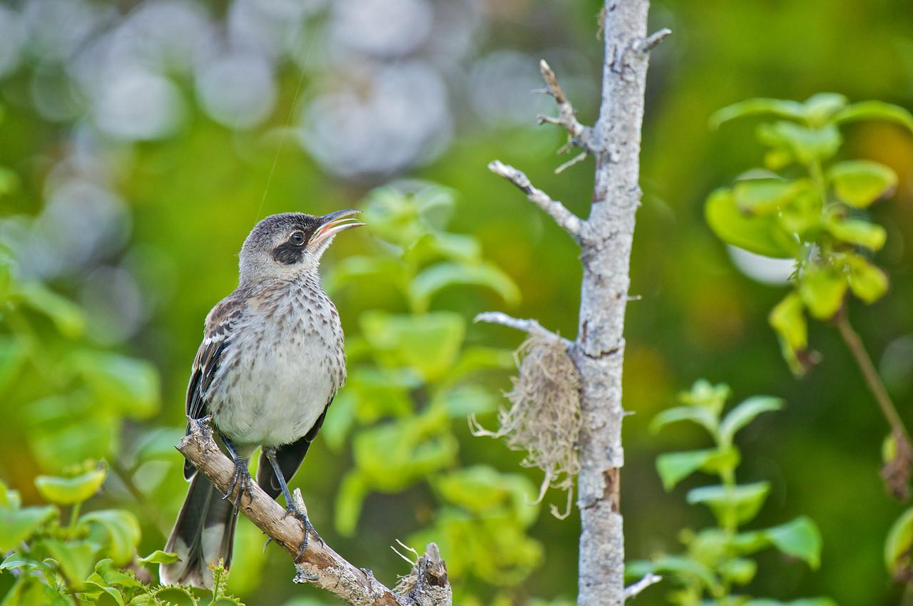 Galapagos Mockingbird, James Island
