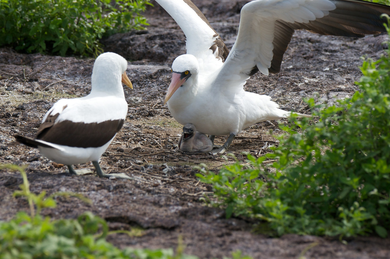 Nasca Booby and chick in confrontation