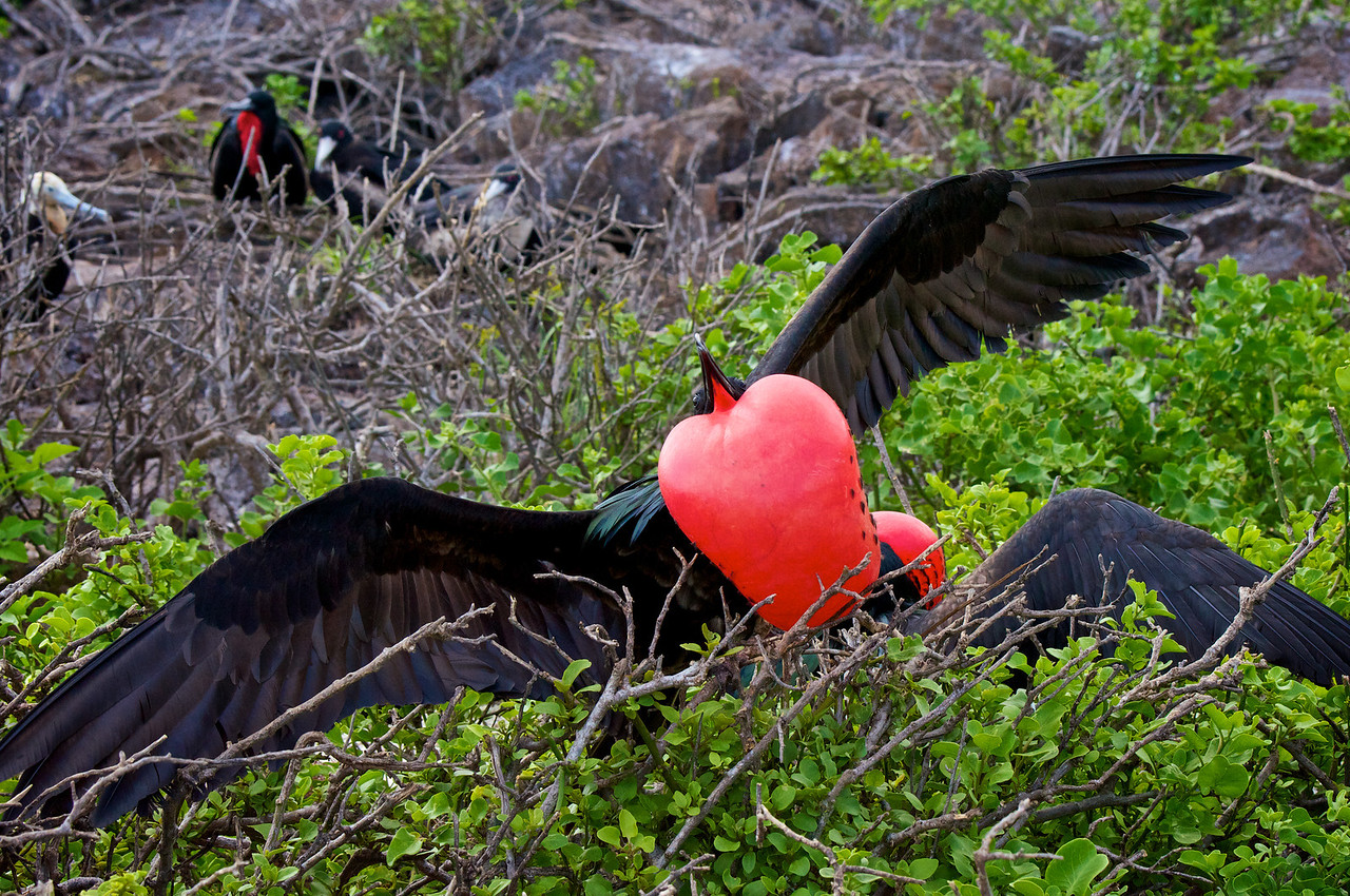 male Great Frigatebird displaying