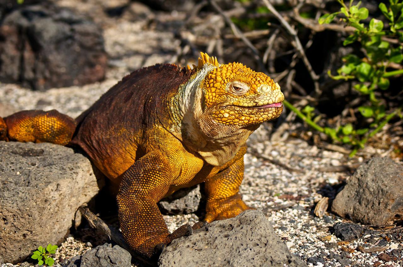 Land Iguana, North Seym0ur Island