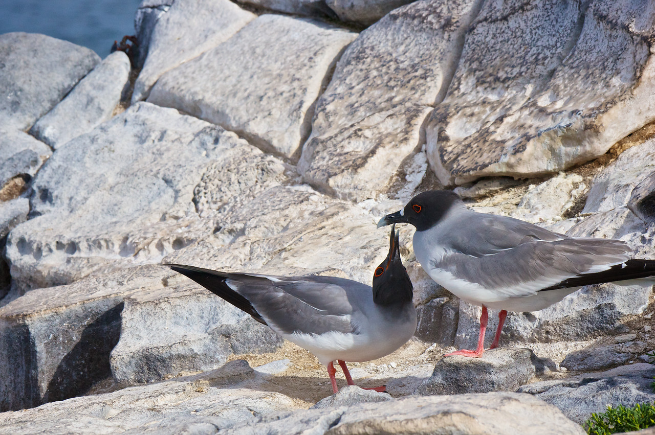 Swallow-tailed Gull pair courting